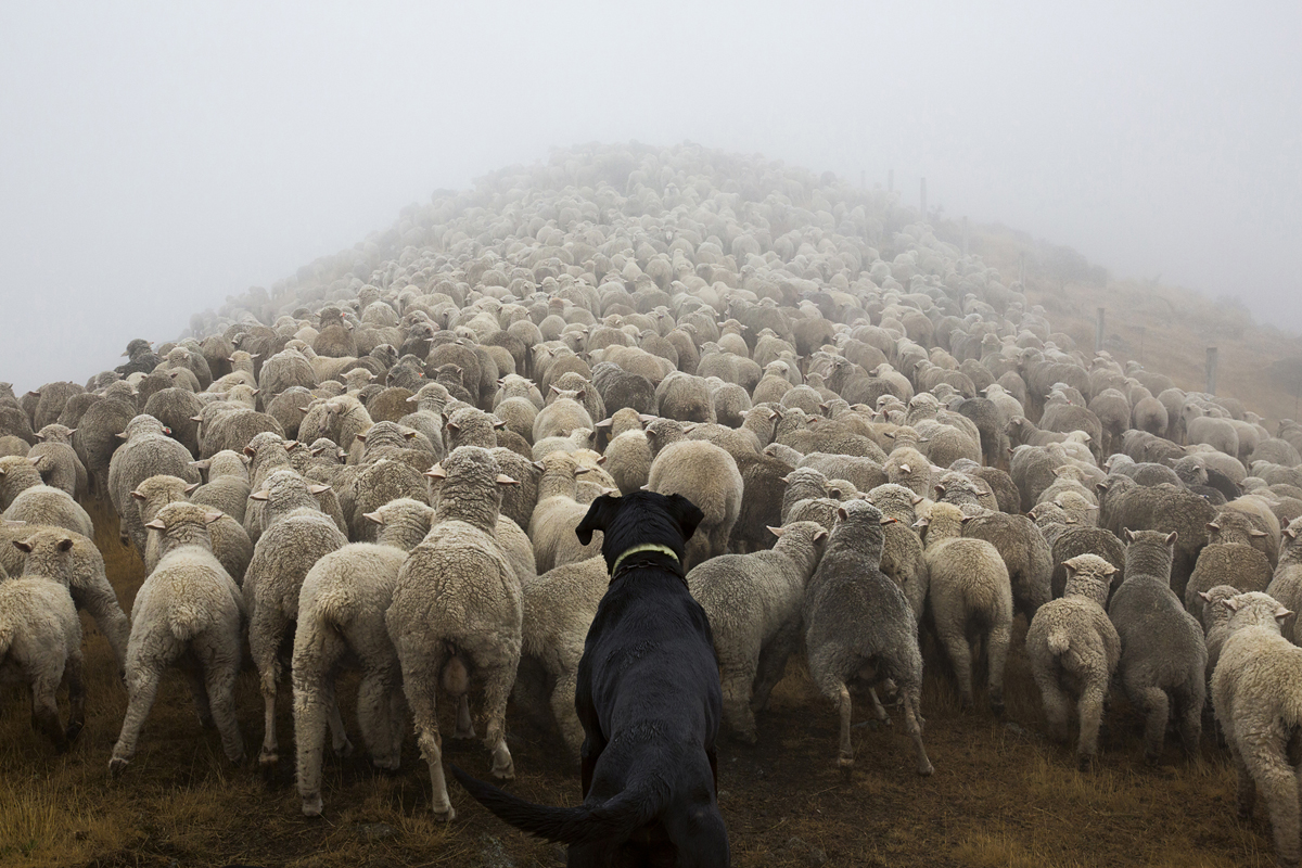 New Zealand Shepherds