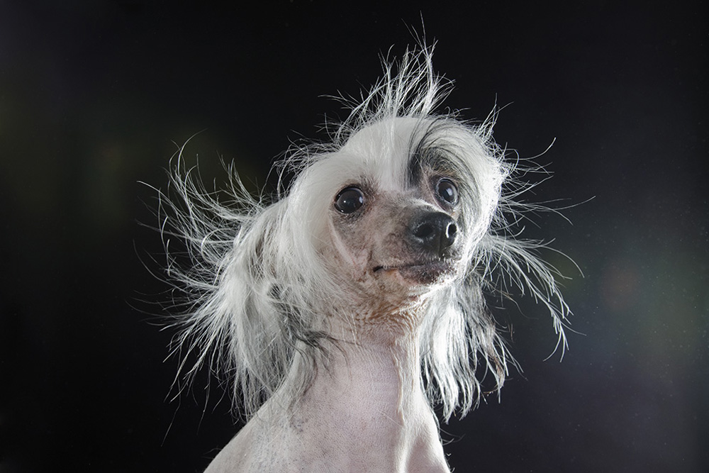 Prophecy - Hairless Breeds
